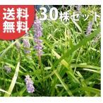 ヤブラン(30ポットセット)  10.5cmポット やぶらん 苗木 植木 苗 庭木 生け垣 送料無料