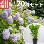 アジサイ 花を楽しむ木 花を楽しむ木¥初夏に花を咲かせる植…
