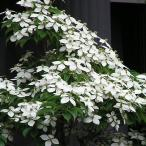 ジョウリョクヤマボウシ(5本セット) 樹高0.8m前後 18cmポット ホンコンエンシス 月光 苗木 植木 苗 庭木 生け垣 送料込み