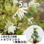 トキワマンサク(青葉白花)(5本セット) 樹高0.3m前後 10.5cmポット 常盤満作 ときわまんさく 生垣用 苗木 植木 苗 庭木 生け垣