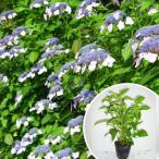 ヤマアジサイ(青) 樹高0.3m前後 15cmポット あお 山紫陽花 やまあじさい 苗木 植木 苗 庭木 生け垣