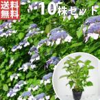 ヤマアジサイ(青)(10本セット) 樹高0.3m前後 15cmポット あお 山紫陽花 やまあじさい 苗木 植木 苗 庭木 生け垣 送料込み