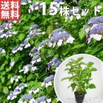 ヤマアジサイ(青)(15本セット) 樹高0.3m前後 15cmポット あお 山紫陽花 やまあじさい 苗木 植木 苗 庭木 生け垣 送料込み