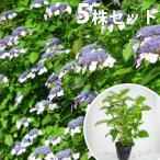 ヤマアジサイ(青)(5本セット) 樹高0.3m前後 15cmポット あお 山紫陽花 やまあじさい 苗木 植木 苗 庭木 生け垣 送料込み