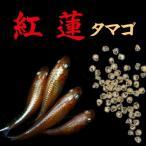 【送料無料】プレミアム メダカ 紅蓮 赤系幹之 卵 30個セット めだか 目高 タマゴ たまご 繁殖 水草 産卵 飼育 種類