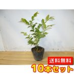 ブルーベリー・ホームベル  【10本セット】  樹高0.4m前後  13.5cmポット  【送料無料】  春は花、夏は実、秋は紅葉、人気の庭木です。  実:7月上旬