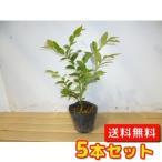 ブルーベリー・ホームベル  【5本セット】  樹高0.4m前後  13.5cmポット  【送料無料】  春は花、夏は実、秋は紅葉、人気の庭木です。  実:7月上旬
