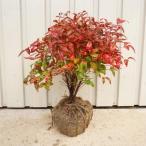 オタフクナンテン・大株   4本セット   樹高0.4m前後  根巻き   送料無料   特大株お多福南天おたふくなんてん五色ナンテン  冬は紅葉します