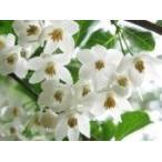 エゴノキ  /  樹高0.5m前後  10.5cmポット  /  白い清楚な花が、枝いっぱいに咲く木  /
