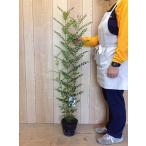 シマトネリコ  /  樹高1.0m前後  18cmポット  /  株立ち  人気のシンボルツリー