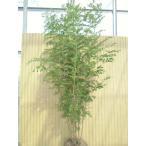 シマトネリコ  /  樹高1.5m前後  根巻き  【送料込み】  株立ち  人気のシンボルツリー