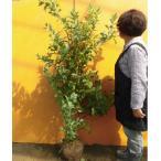 ブルーベリー・ホームベル  /  樹高1.2m前後  根巻き  /  春は花、夏は実、秋は紅葉、人気の庭木です。  /