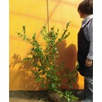 ブルーベリー・ビッグオニール  /  樹高1.0m前後  根巻き  【送料込み】  春は花、夏は実、秋は紅葉、人気の庭木です。  /