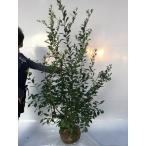 ブルーベリー・ティフブルー  /  樹高1.2m前後  根巻き  【送料込み】  春は花、夏は実、秋は紅葉、人気の庭木です。  /