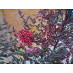 ナンテン  /  樹高0.2m前後  10.5cmポット  /  南天:赤実縁起の良い木とされ、鬼門または裏鬼門に植えると良い  /