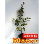 トキワマンサク(青葉白花)   50本セット   樹高0.3m前後  10.5cmポット   送料無料   常盤満作  生垣用