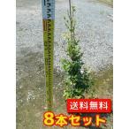 トキワマンサク(青葉白花)   8本セット   樹高1.2m前後  18cmポット   送料込み   常盤満作  生垣用