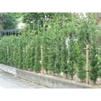 ラカンマキ  /  樹高1.5m前後  根巻き  /  優良品  庭の生垣目隠しやシンボルツリーに