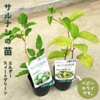 Yahoo!渋谷園芸 植木鉢屋ベビーキウイ苗  サルナシ苗 ミニキウイ ハーディキウイ 3号ポット 果樹苗 かわいい  baby kiwi 家庭果樹 さるなし 両性種