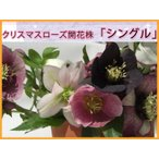 クリスマスローズ シングル(一重)花色選べる 開花株  レビューでおまけ 到着日指定不可 発送1月10日以降