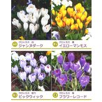 春咲きクロッカス球根 『花色選べる 10球セット』(白・黄・絞り・紫・混色) ハナサフラン  寄せ植え 秋植え 第四種郵便対応