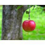 送料無料 『百年の樹齢を重ねる昔ながらの紅玉』青森県産 2.5kg(12〜20玉)※常温
