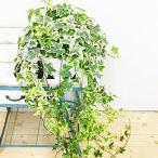 ヘデラ アイビー ヘリックス 吊り鉢 観葉植物 本物 中型 インテリア