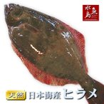 比目鱼 - 天然ヒラメ 平目 日本海産 2.0〜2.4キロ物