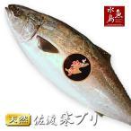 青甘魚, 鰤魚 - 天然 寒ブリ「佐渡 寒ぶり」4kg以上5kg未満 一尾丸もの 送料無料