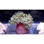 (ウメボシイソギンチャク科) サンゴイソギンチャク Entacmaea quadricolor 1匹