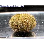 (オオバフンウニ科) バフンウニ Hemicentrotus pulcherrimus (直径約2〜3cm) 1匹