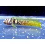 (イソギンポ科) ナベカ Omobranchus elegans (4〜6cm) 1匹