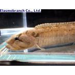 (イソギンポ科) ダイナンギンポ Dictyosoma burgeri (13〜15cm) 1匹