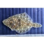 (カレイ科) ヌマガレイ Platichthys stellatus (3〜4cm) 1匹