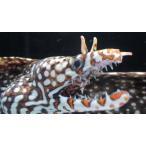 (ウツボ科) トラウツボ Muraena pardalis (60〜70cm) 1匹