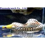 (ウツボ科) ヘリゴイシウツボ Gymnothorax fimbriatus (30〜40cm) 1匹