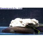 (ウツボ科) ゴマウツボ Gymnothorax flavimarginatus (30〜40cm) 1匹