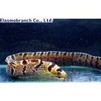 (ウツボ科) シマアラシウツボ Echidna polyzona (50〜60cm) 1匹