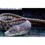 (ウツボ科) アセウツボ Gymnothorax pictus (90〜100cm) 1匹