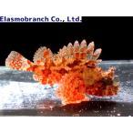 (フサカサゴ科) フサカサゴ Scorpaena onaria (5〜6cm) 1匹