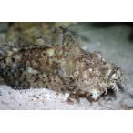 (フサカサゴ科) オニオコゼ Inimicus japonicus (15〜20cm) 1匹