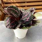 カラテア・ロゼオピクタ'ドッティ'Calathea roseopicta'Dottie' (= Maranta roseopicta'Dottie')【4号鉢】
