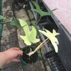フィロデンドロン・フロリダゴースト Philodendron 'Florida ghost'