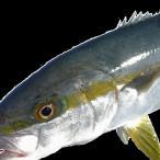 愛媛産 【 ヒラマサ / 平政 】(4-5kg) 鮮魚 下処理済み 浜から直送 送料無料 宇和海の幸問屋