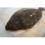 愛媛 宇和海産 【 ヒラメ / 鮃 】 0.8-1.2kg 宇和海の幸問屋 送料無料