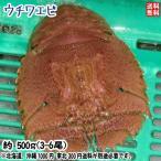 Shrimp - 愛媛 活き ( ウチワエビ ) 3-6尾 500g分 幻の海老 浜から直送 送料無料 宇和海の幸問屋