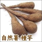 野菜・種/苗 自然薯/改良短形自然薯(ヤマイモ)・生もの種 5本入/一袋