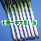 野菜の苗 十国一本太ねぎ ネギ・葱 苗 50本/束
