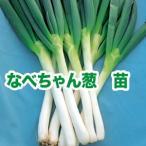 野菜の苗 なべちゃんねぎ ネギ・葱 苗 50本/束