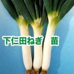 野菜の苗 下仁田ねぎ ネギ・葱 苗 50本/束